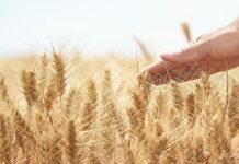Для костромских аграриев выдался тяжелый год — одни убытки