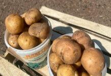 Татарстанские перекупщики почти в два раза подняли цены на картофель