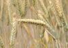 Урожай зерновых в Удмуртии в 2021 г. снизился почти на 30% из-за летней засухи