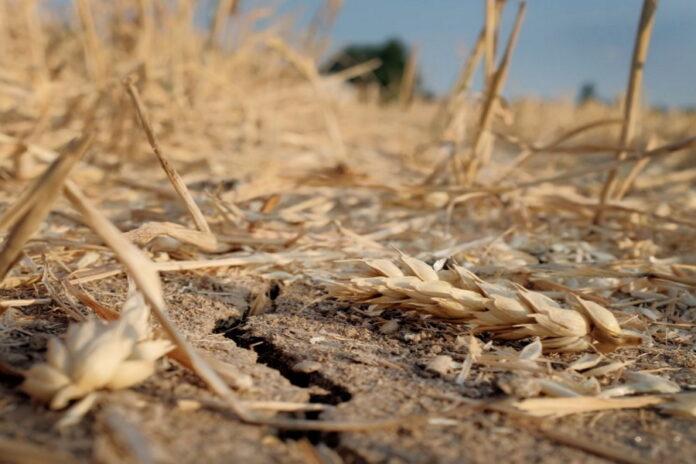 Сбор зерна в России будет снижен из-за погоды — эксперт