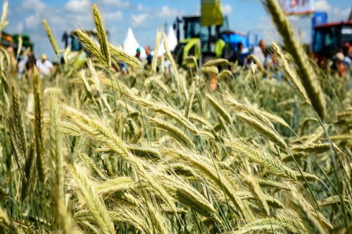 Голодный год: Татарстану из-за засухи придется закупить свыше 300 тыс. тонн зерна