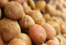 Из-за дождей есть риск серьезного недобора урожая картофеля