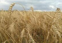 В Пензенской области из-за жаркого лета снизилась урожайность зерновых