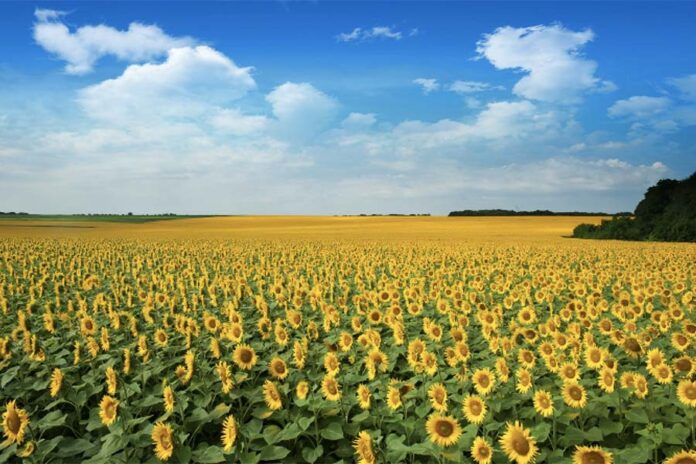 Возделывание подсолнечника - новые вызовы и перспективы