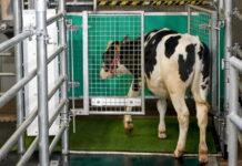 Спасение планеты: коров приучили к туалету