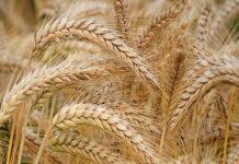В России в 2021 году наблюдается снижение урожайности по всем зерновым