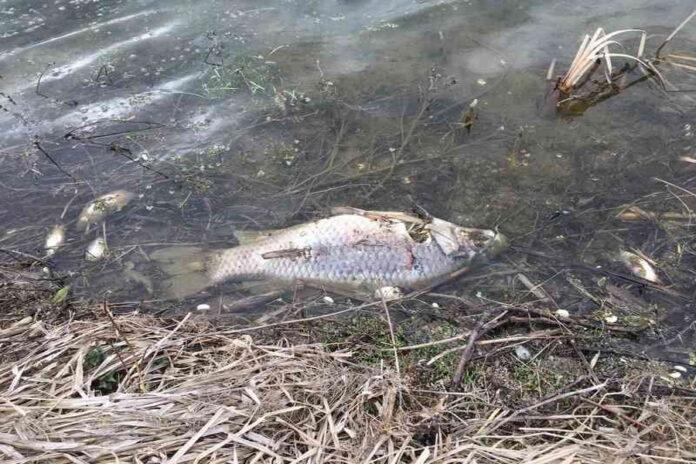 Выброс жидких удобрений привел к массовой гибели рыбы под Орлом