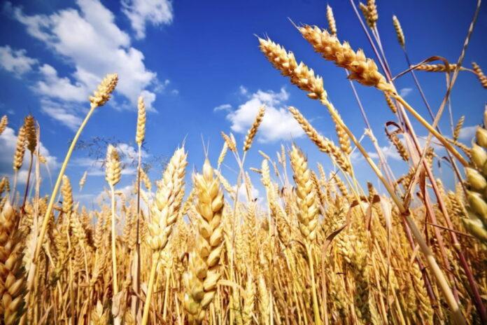Россия может лишиться статуса мирового лидера на рынке пшеницы — эксперты