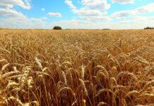 Эксперты снижают прогнозы по урожаю пшеницы в России в 2021 году