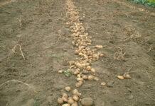 Брянских фермеров огорчил урожай картофеля