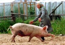 Орловчане останутся без свиней