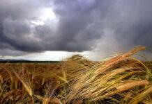 За неделю стоимость фуражного зерна увеличилась на 1500 рублей за тонну