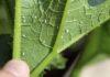 Белокрылка - темные дела маленькой белой бабочки