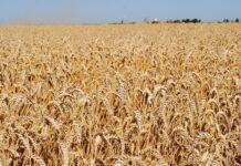 Липецкая область потеряла 30% урожая зерновых из-за засухи