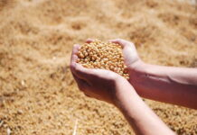 Производители сои в Еврейской автономной области серьезно пострадали от паводка