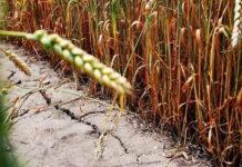 В Курганской области урожай зерновых в текущем году уменьшился на 28% из-за засухи